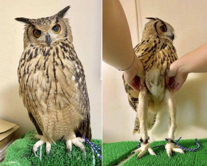 Off Topic: General - Did you know owls have long legs  image 1